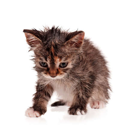Wet shorthair kitten isolated on white background photo