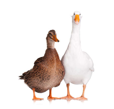 White domestic goose and duck isolated on white background Reklamní fotografie
