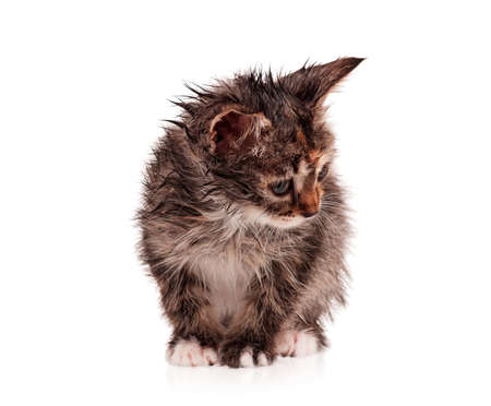 Wet little kitten isolated on white background photo