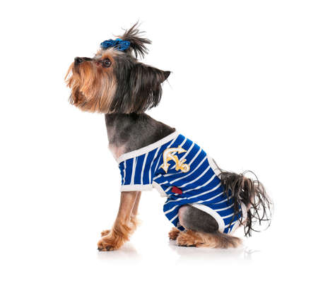 Dressed dog, isolated on white background photo