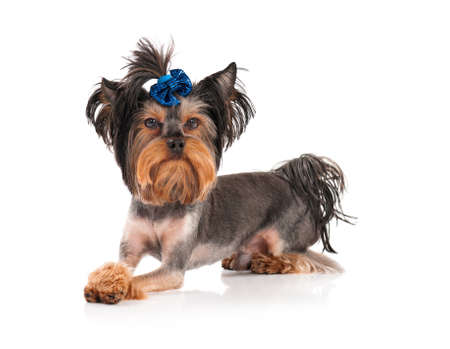 Yorkshire Terrier, 3 years old, isolated on white background photo