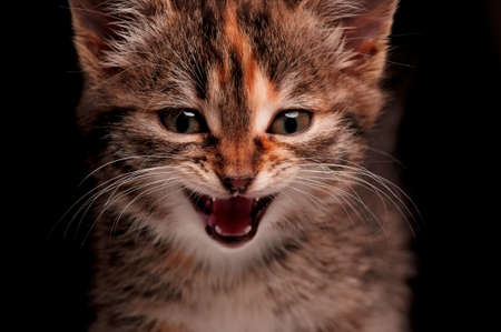 miaul: Portrait of cute little kitten on dark background Stock Photo