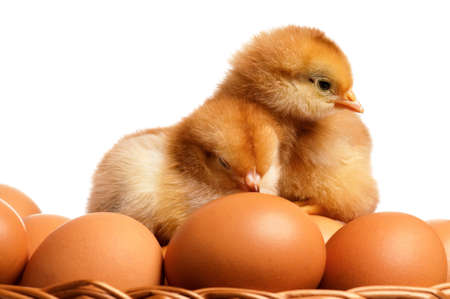 Eggs and chicken photo