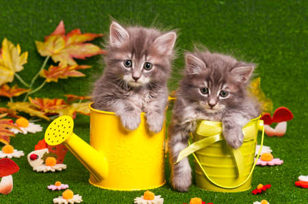 Cute gray kittens with yellow watering can on artificial green grass Archivio Fotografico