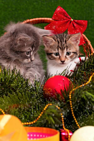 christmas pussy: Close up portrait of a beautiful two kittens - christmas background