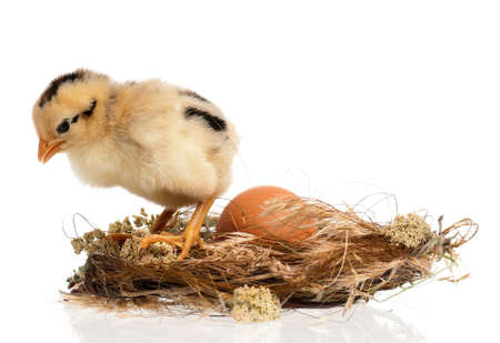 hatched: Newborn chick in the nest isolated on white background