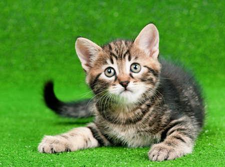 人工の緑の芝生で遊ぶかわいい子猫