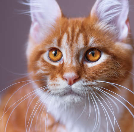 3 5: Close up portrait of domestic red Maine Coon kitten, 3,5 months old Stock Photo