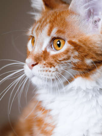 3 5: Portrait of domestic red Maine Coon kitten, 3,5 months old