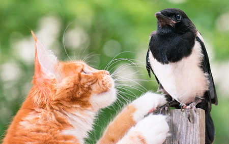 pica: Domestic red Maine Coon kitten, 4 months old, hunted a nestling of magpie. Cat hunted a bird.