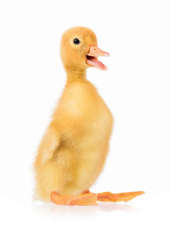 Cute domestic duckling, isolated on white background Stock Photo