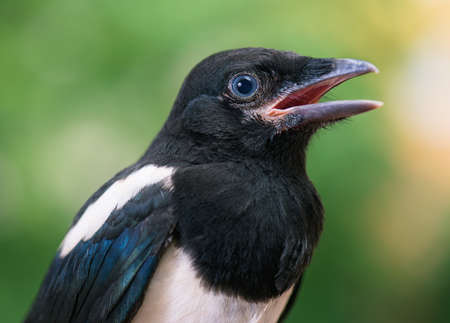 The close view of the nestling of magpie Stock Photo