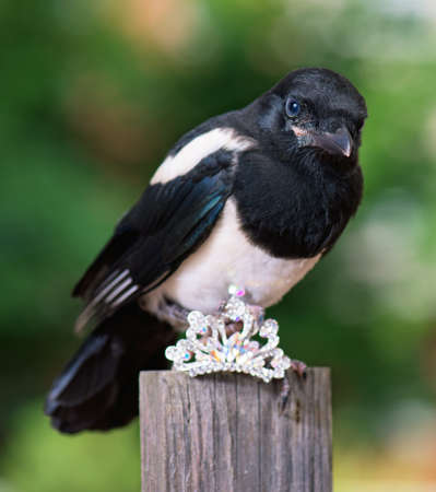 Magpie thief stealing a shine jewellery on wooden fence Stock Photo