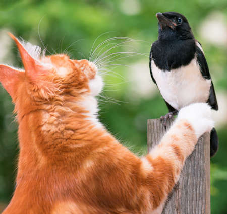 Domestic red Maine Coon kitten, 4 months old and nestling of magpie. Cat hunted a bird.