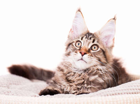 Portrait of domestic black tabby mackerel Maine Coon kitten - 3,5 months old. Cat isolated on white background. Stock Photo