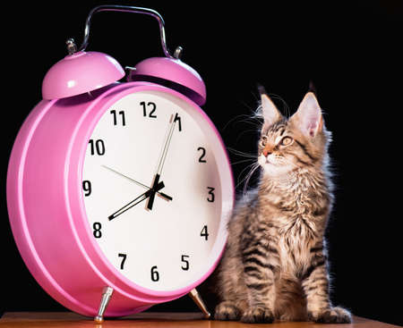 3 5: Portrait of domestic black tabby mackerel Maine Coon kitten - 3,5 months old. Cat with big pink alarm clock on black background.