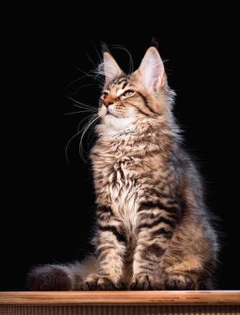3 5: Portrait of domestic black tabby mackerel Maine Coon kitten - 3,5 months old. Cat on black background.