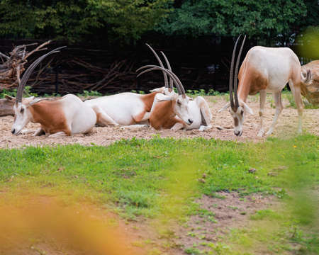 oryx: Scimitar-Horned Oryx relaxing in zoo. Magnificent Oryx eating grass.