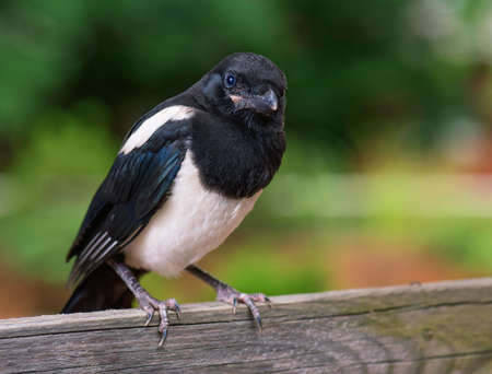 The close view of the nestling of magpie on wooden fence. Bird on green background. Stock Photo