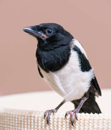 The close view of the nestling of magpie. Close up of bird portrait indoors background. Stock Photo