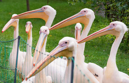 great white pelican: Great White Pelican is a bird in the pelican family. Big bird near the lake.