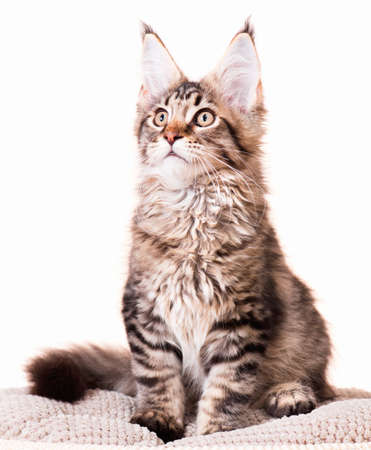 3 5: Portrait of domestic black tabby mackerel Maine Coon kitten - 3,5 months old. Cat isolated on white background. Stock Photo