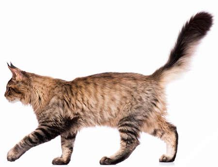 Portrait de chaton domestique black tabby Maine Coon - 5 mois. Mignon jeune chat isolé sur fond blanc. Vue latérale d'un jeune chaton rayé curieux marchant. Banque d'images