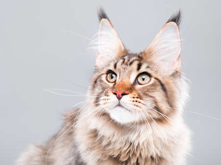 Portrait of domestic black tabby Maine Coon kitten - 5 months old. Cute striped kitty looking away. Beautiful young curious cat on grey background. Stock Photo