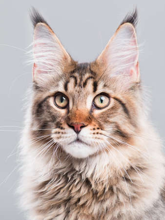 Portrait of domestic black tabby Maine Coon kitten - 5 months old. Cute striped kitty looking away. Beautiful young curious cat on grey background.