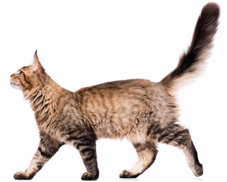 国内の黒ふちメインクーン子猫 - 5 ヶ月の肖像画。かわいい若い猫が白い背景に分離されました。好奇心旺盛の若いストライプ ハローキティ歩行の