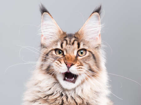 Portrait of domestic black tabby Maine Coon kitten - 5 months old. Cute striped kitty looking at camera. Beautiful young cat make funny face on grey background. Stock Photo