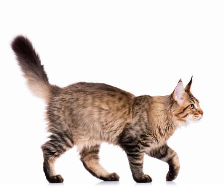 Portrait of domestic black tabby Maine Coon kitten - 5 months old. Cute young cat isolated on white background. Side view of a curious young striped kitty walking. Stock Photo