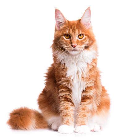 lince rojo: Retrato de rojo gatito doméstico Maine Coon - 8 meses de edad. gato joven linda que se sienta delante y mirando a la cámara. Curioso joven gatito rayado anaranjado aislado en el fondo blanco.