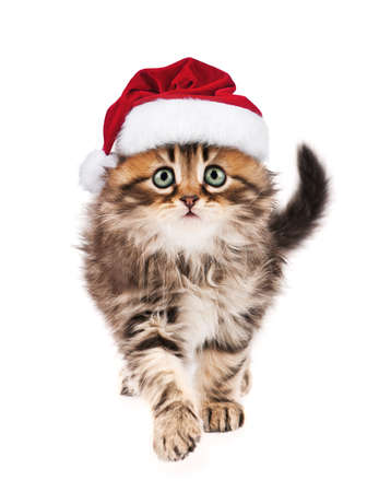 christmas pussy: Portrait of Siberian kitten in red Christmas Santa hat. Cute little cat dressed as Santa Claus looking at camera. Christmas kitty walking, isolated on white background.