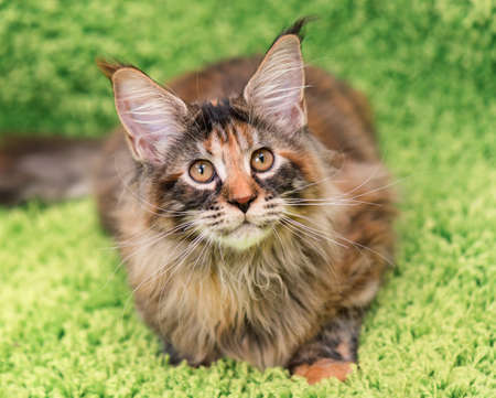 tortoiseshell: Fluffy tortoiseshell kitty - 4,5 months old - lying on a green carpet. Portrait of domestic Maine Coon kitten, top view point. Playful beautiful young cat looking away.