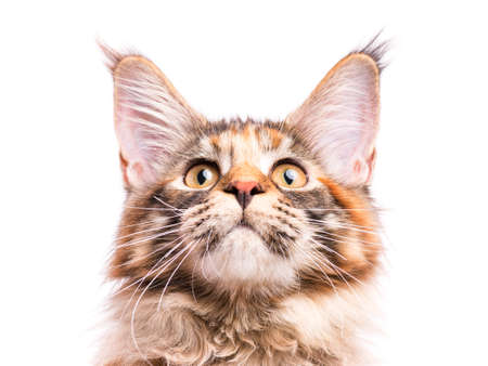 tortoiseshell: Portrait of domestic tortoiseshell Maine Coon kitten. Fluffy kitty isolated on white background. Close-up studio photo adorable curious young cat looking up.
