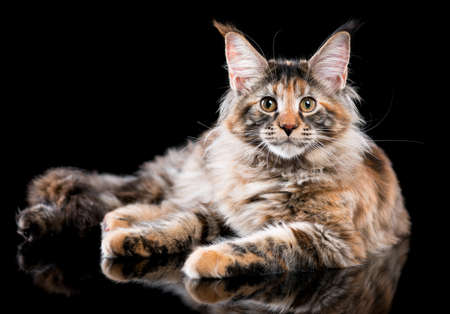 Portrait of domestic tortoiseshell Maine Coon kitten. Fluffy kitty on black background. Adorable curious young cat lying down and looking at camera.