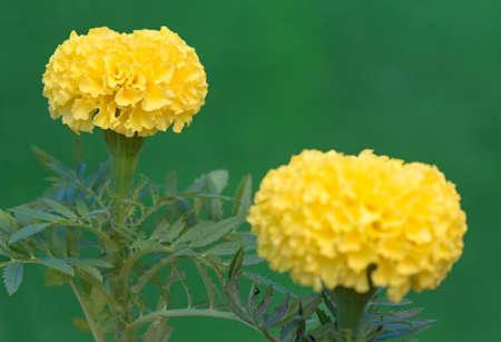 swaying: Marigold flower - Calendula plant in the garden. Shallow focus depth.  Stock Photo