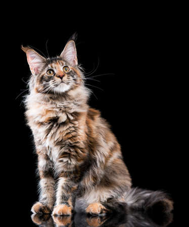 Portrait of domestic tortoiseshell Maine Coon kitten. Fluffy kitty on black background. Close-up studio photo adorable curious young cat looking away.