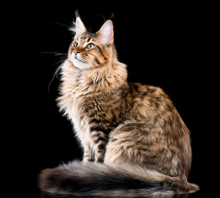 the lynx: Portrait of domestic black tabby Maine Coon kitten. Fluffy kitty on black background. Studio shot beautiful curious young cat looking away.