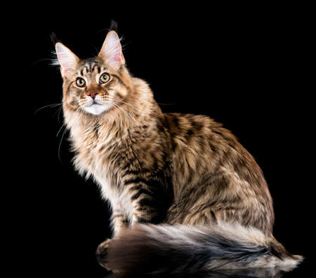 Portrait of domestic black tabby Maine Coon kitten