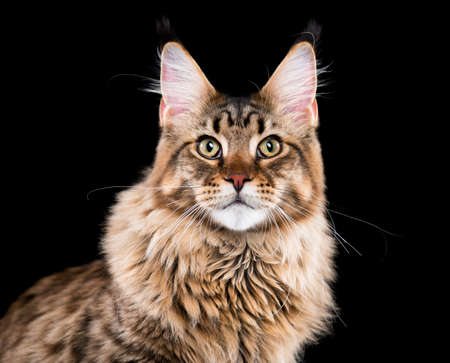the lynx: Portrait of domestic black tabby Maine Coon kitten. Fluffy kitty on black background. Studio shot beautiful curious young cat looking at camera.