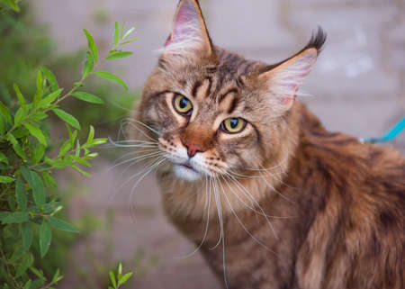 Black tabby Maine Coon cat with leash wandering in backyard. Young cute male cat looking at camera. Pets walking outdoor adventure in park. Stock Photo