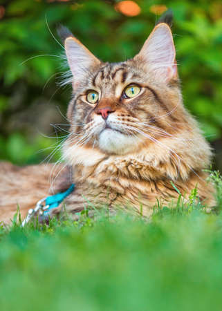 Black tabby Maine Coon cat with leash relaxing on green grass in park. Pets walking outdoor adventure. Stock Photo