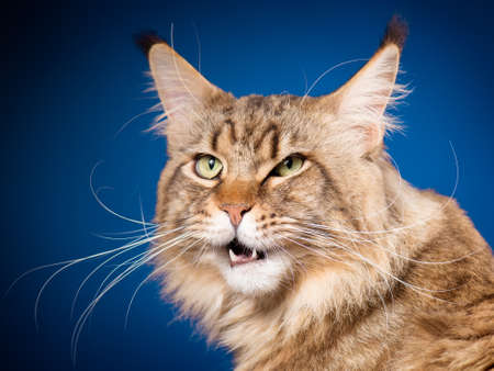 Portrait of funny Maine Coon cat. Close-up studio photo of beautiful big adult black tabby cat on blue background.