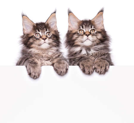 Maine Coon kittens holding sign or banner. Funny pets cats showing placard with space for text. Two beautiful domestic kitty with blank board, isolated on white background.
