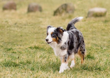 Australian Shepherd purebred dog on meadow in autumn or spring, outdoors countryside. Blue Merle Aussie adult dog.