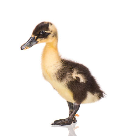 Cute little yellow black newborn duckling isolated on white background. Newly hatched duckling on a chicken farm.