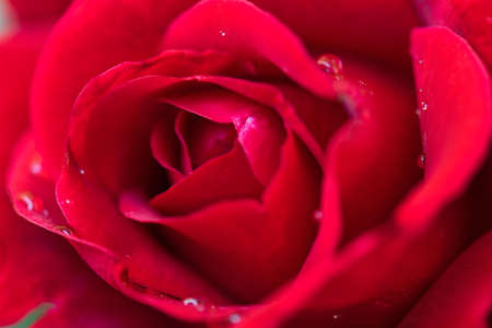 Beautiful red roses in the garden with rain drops of water on the green leaf. Bouquet of roses for Valentine Day - outdoors. Stock Photo