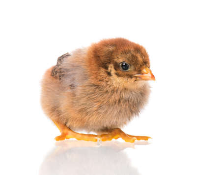 Cute little newborn chicken, isolated on white background. Newly hatched chick on a chicken farm. Banco de Imagens